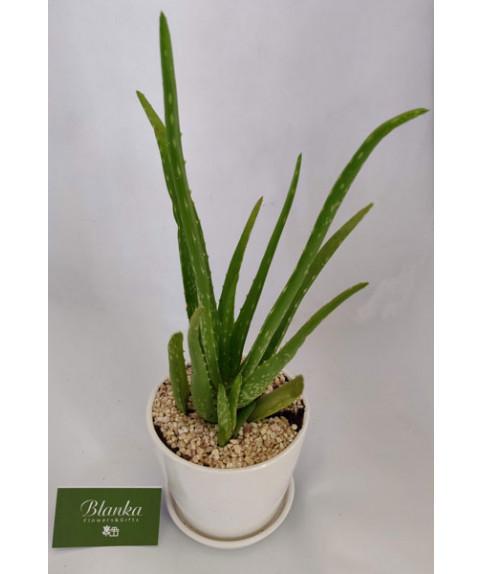 צמח אלוורה רפואית