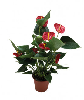 Anthurium Red flowers