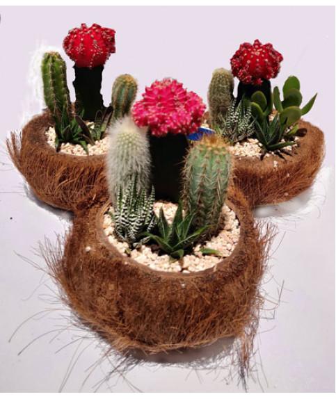 Cactus plants in coconut pot