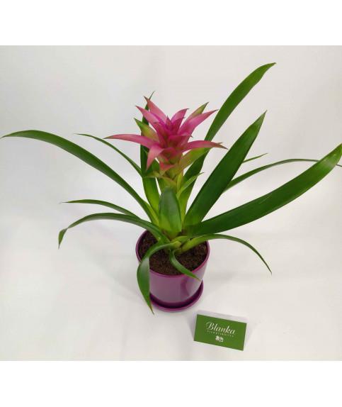 גוזמניה צמח בית עם כלי קרמיקה