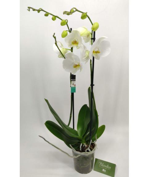 Белая орхидея 2 ветки
