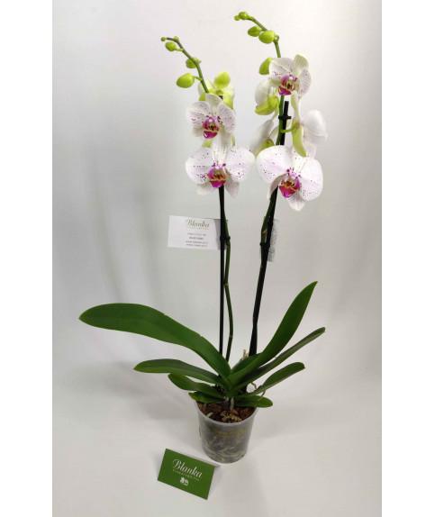 Орхидея 2 ветки с маленькими цветочками